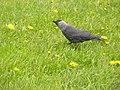 Corvus monedula3.JPG
