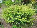 Corylopsis pauciflora - Tower Hill.jpg