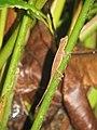 Costarica corcovado lizard (8039306941).jpg