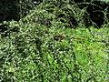 Cotoneaster dielsianus Kiev3.JPG