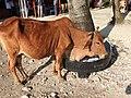 Cow-2-north bay island-andaman-India.jpg
