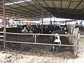 Cows (147396529).jpg