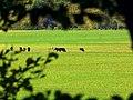 Cows - panoramio (8).jpg