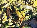 Crab - panoramio (1).jpg