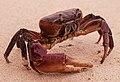 Crabs of Seychelles 02.jpg