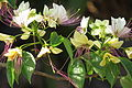 Crateva magna flowers at Thrissur India.JPG
