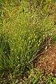 Crepis setosa plant (07).jpg
