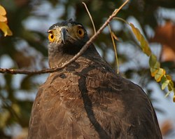 Crested Serpent Eagle (Spilornis cheela) in Kinnarsani WS, AP W3 IMG 5879.jpg