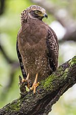 Crested serpent eagle SOP.jpg