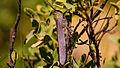 Criquet Égyptien (Anacridium aegyptium) (17116826657).jpg