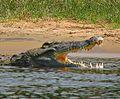 Crocodylus niloticus6c01.jpg