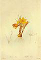 Crocus flavus in Les liliacees.jpg