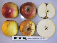 Cross section of Friedrich der Grosse, National Fruit Collection (acc. 1947-326).jpg