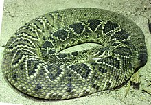 Eastern diamondback rattlesnake - Wikipedia
