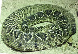 Eastern diamondback rattlesnake - In the Universeum Science Park, Gothenburg, Sweden