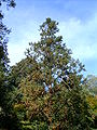 Cunninghamia lanceolata árvore.jpg