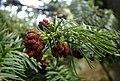 Cunninghamia lanceolata kz4.jpg