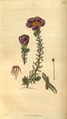 Curtis's Botanical Magazine, Plate 3064 (Volume 58, 1831).png