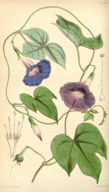 Curtis's Botanical Magazine, Plate 4289 (Volume 73, 1847).png