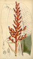 Curtis's Botanical Magazine, Plate 4293 (Volume 73, 1847).png