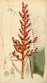 Curtis's Botanical Magazine, Plate 4293 (Volume 73, 1847).png