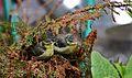Cyanistes caeruleus -Norfolk, England -chicks-8 (1).jpg