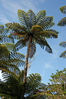 Cyathea medullaris vokser på New Zealand