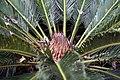 Cycas revoluta 22zz.jpg