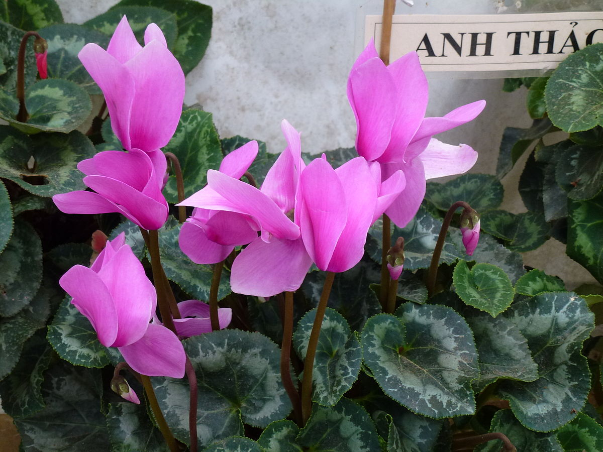 how to take care of cyclamen persicum