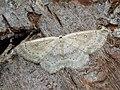 Cyclophora albipunctata - Birch mocha - Кольчатая пяденица обыкновенная (27100956918).jpg