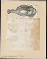 Cyclopterus lumpus - 1700-1880 - Print - Iconographia Zoologica - Special Collections University of Amsterdam - UBA01 IZ13600153.tif