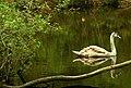 Cygnet, Clandeboye wood - geograph.org.uk - 793509.jpg