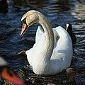 Cygnus olor - Łabędź niemy - Mute swan (35597984940).jpg