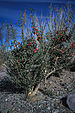 Christmas Cholla - Photo John J. Mosesso, no known copyright restrictions (public domain)