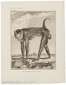 Cynocephalus porcarius - 1700-1880 - Print - Iconographia Zoologica - Special Collections University of Amsterdam - UBA01 IZ20100055.tif
