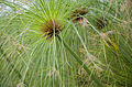 Cyperus papyrus-pjt1.jpg