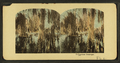 Cypress swamps, from Robert N. Dennis collection of stereoscopic views.png