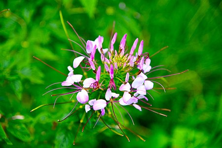 D85 4726 Purple Flower from Phu Langka National Park.jpg