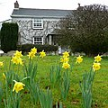 Daffodils and cottage at No Man's Land - geograph.org.uk - 1128864.jpg
