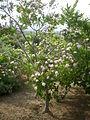 Dais cotinifolia 3c.JPG