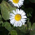 Daisy Flower 3412.jpg