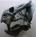 Daptocephalus.jpg