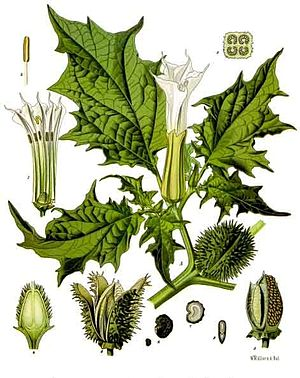 Hanaoka Seishū - Datura stramonium, also known as Korean morning glory, thorn apple or jimson weed)