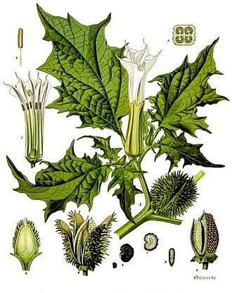 Hanaoka Seishū - Datura stramonium, also known as Korean morning glory, thorn apple or jimson weed)