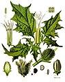 Datura stramonium - Köhler–s Medizinal-Pflanzen-051.jpg