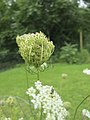 Daucus carota - seedhead (18840290865).jpg