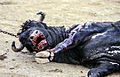 Dead bull at bullfight.jpg