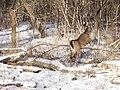 Deer - panoramio (2).jpg