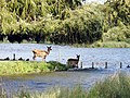 Deer Crossing the Heron Lake in Bushy Park - panoramio.jpg