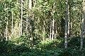 Dense woodland - geograph.org.uk - 987261.jpg